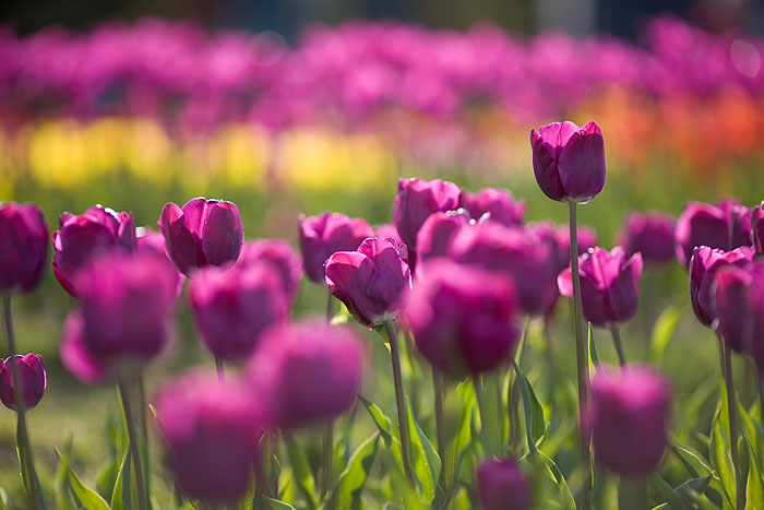 Purple tulips at the Netherlands Carillon in Arlington, Virginia