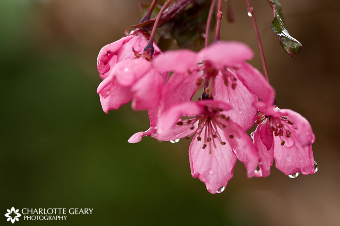 Raindrops on cherry blossoms