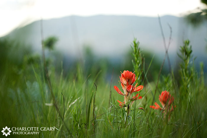 Indian paintbrush in Colorado Springs