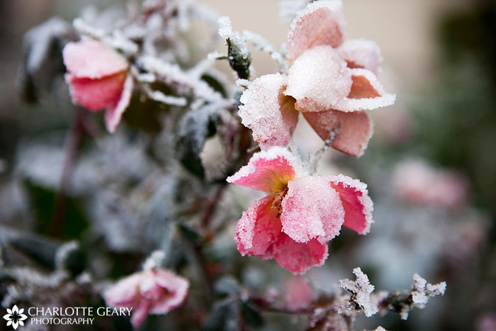 Winter ice on roses