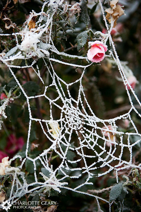 Winter ice on a spider web and rose bush